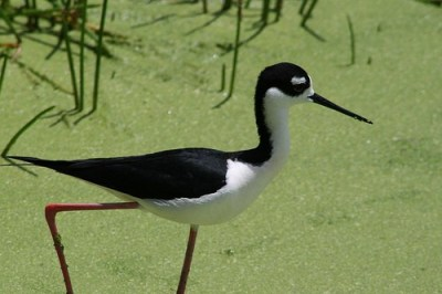 Stilt at Wakodahatchee Wetlands, Delray Beach