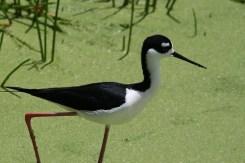 Stilt at the Wakodahatchee Wetlands
