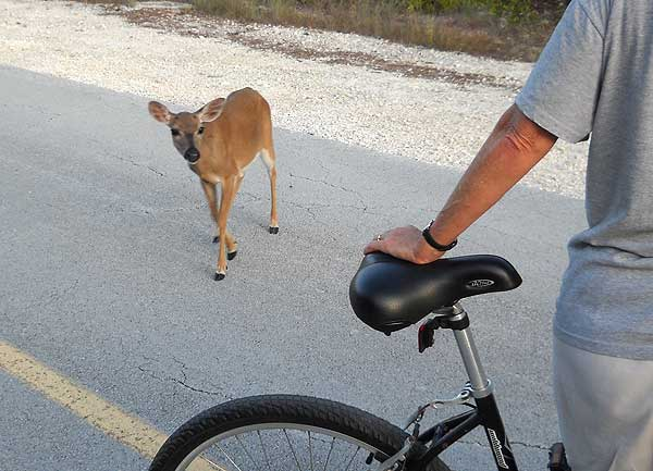 Key deer approaches bike, No Name Key, Forida Keys.