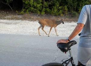 Key deer with bicyclist, No Name Key, Florida Keys