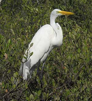 Florida Keys Wild Bird Center: Snowy egret
