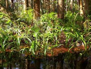 Loxahatchee River, Palm Beach County: Ferns