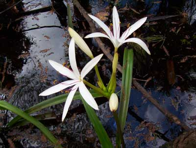 Loxahatchee River, Palm Beach County: Lily
