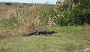 Alligator crossing the Marsh Trail