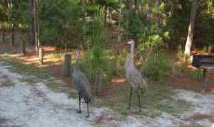 Endangered Florida sandhill cranes at Moss Park