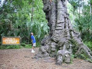 The big oak at Highland Hammocks State Park