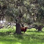 Scenic roads: A drive in Old Florida cow country