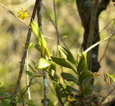 Corkscrew Sanctuary Naples star orchid