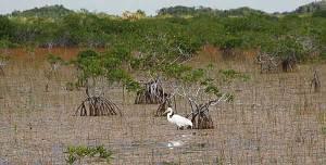 Egret in the Everglades near Flamingo