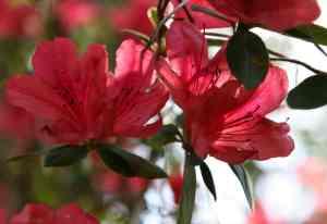 Azaleas at Ravine Gardens State Park, Palatka, Florida