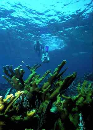 Elkhorn coral at Biscayne National Park