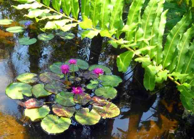 Water lilies at McKee Botanical Garden, Vero Beach