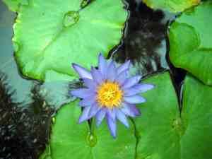 Water lily at McKee Botanical Garden, Vero Beach