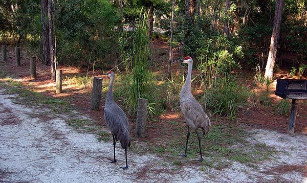 Endangered sandhill cranes at Moss Park
