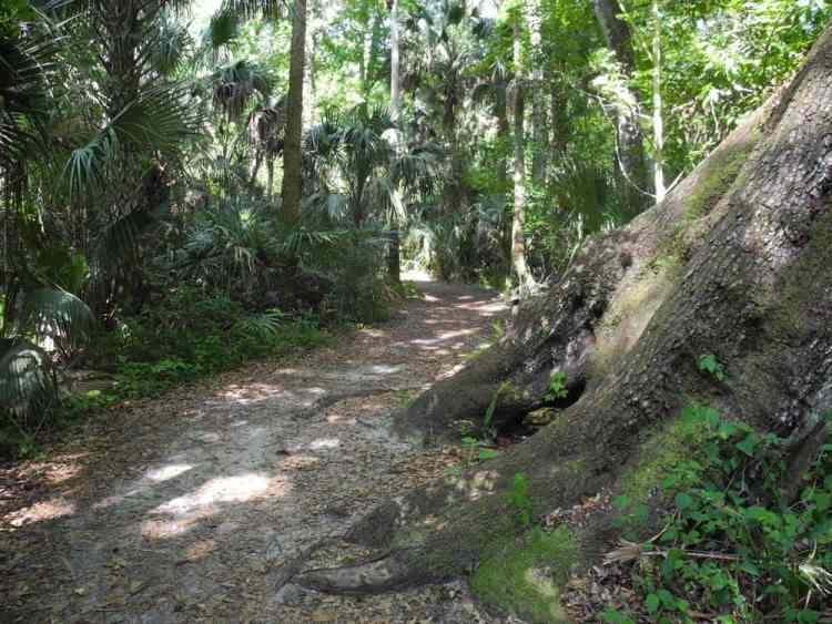 Big Oak Trail at Highlands Hammock State Park