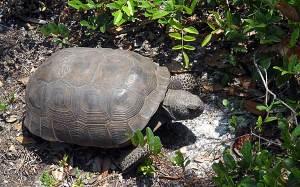 Tortoise at Washington Oaks Gardens State Park, Palm Coast