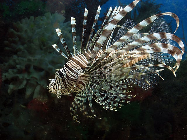 Lionfish by Gustavo Duran via Flickr