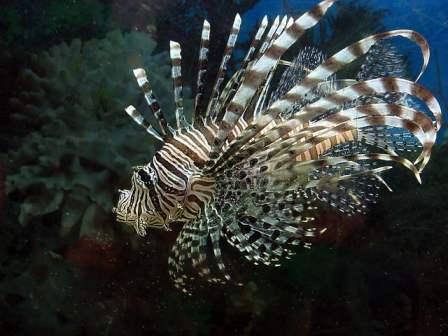 Lionfish by Gustavo Duran via Flickr