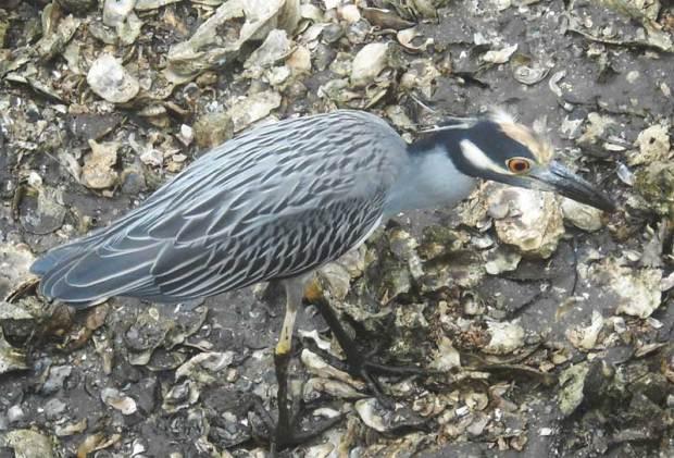 Little Blue Heron in Peace River at Punta Gorda
