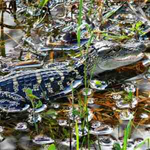 Jonathan Dickinson State Park baby alligator