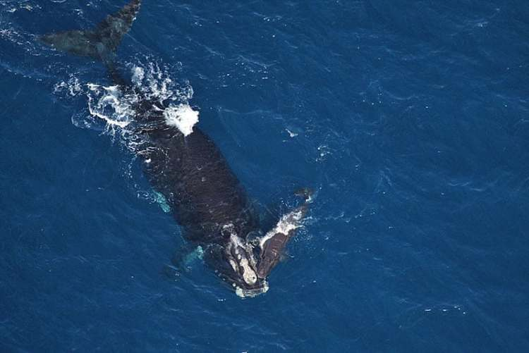 Right whale off Flagler Beach, Florida