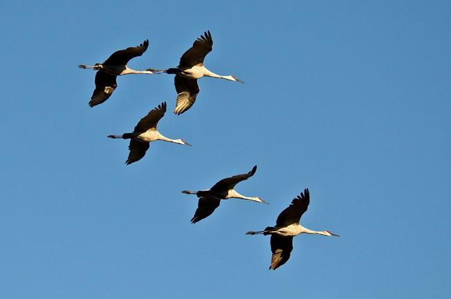 Sandhill cranes in flight in Florida