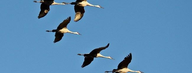 Sandhill cranes in flight. Photo by Stephen L. Tabone.