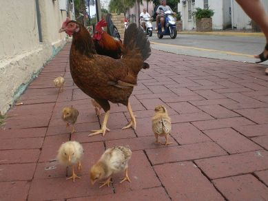 Chicken family in Key West