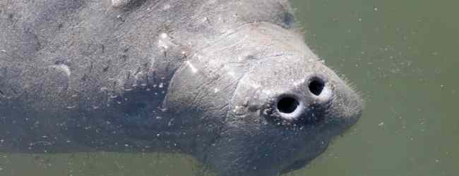 It's chilly: Time to see manatees in Florida waters. Here's where to go