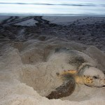 Sea turtle nesting. Photo courtesy of Florida Wildlife Commission,