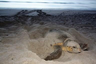 Sea turtle nesting. Photo courtesy of Florida Wildlife Commission,