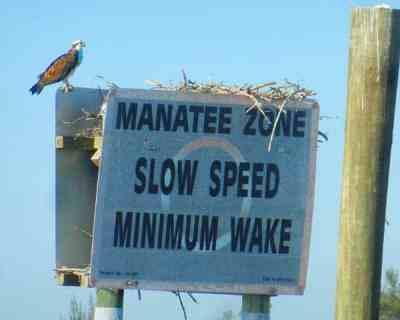 Nearly every manatee-zone sign has an osprey nest inside the 10,000 Islands National Wildlife Refuge.