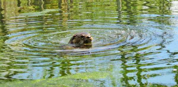 An otter swimming at the Chassahowitzka River. He was with a family of five or six otters we encountered.