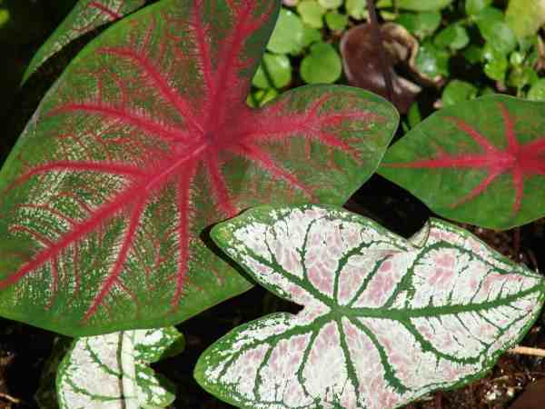 Lake Placid grows 98 percent of the caladiums sold.