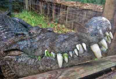 The variety of gators and crocs at St. Augustine Alligator Farm is incredible. This is a New Guinea croc.