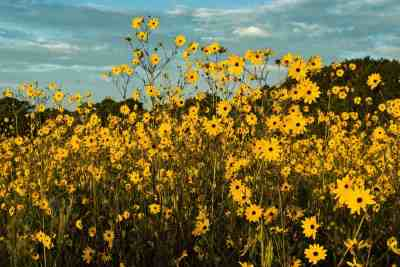 Sunflowers at Pepper Ranch in 2013. Photo by Ron Perkins.