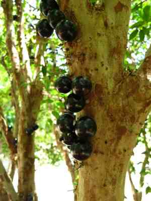The Jabuticaba tree at Fruit and Spice Park iin the Redland was full of sweet fruit to sample.