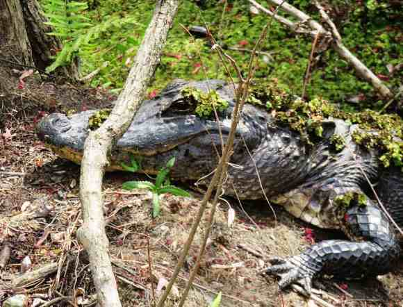 Alligator picturesquely resting along nature trail at Crowley Museum & Nature Center.