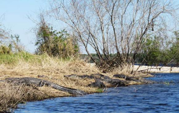 A pile of gators delighted visitors who took the short walk from the concession stand to the dam at Myakke River State Park.