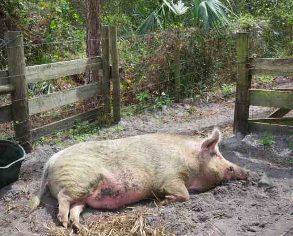 Squirt the pig at the Crowley Museum & Nature Center