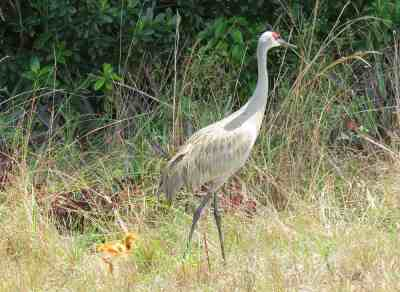 Sandhill crane and colt along Bluegill Trail in Palm Beach County.