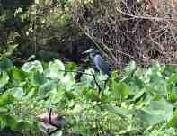 wekivariver-heron