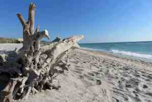 The many sun-bleached dead trees give the Stump Pass Beach State Park its name.