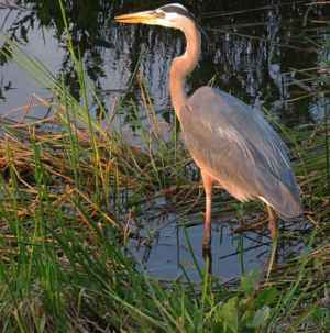 Great blue heron along the Anhinga Trail at sunset. (Photo: Bonnie Gross)