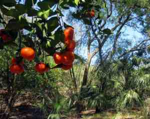 Along the paddling trail, we came across bright orange fruit on long abandoned citrus trees. (Photo: Bonnie Gross)