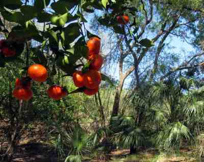 Along the paddling trail, we came across bright orange fruit on long abandoned citrus trees. (Photo: Bonnie Gross)