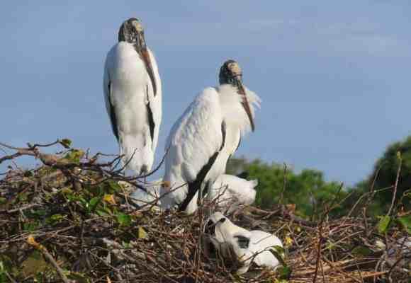 Wood storks nesting in Wakodahatchee Wetlands in Delray Beach