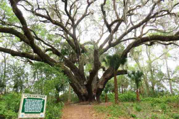 The live oak tree at Lake Griffin State Park is the second largest in the state and the oldest. (Photo: Bonnie Gross)