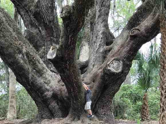 You need a person to stand next to the live oak at Lake Griffin State Park to see how giant it is. (Photo: Bonnie Gross)