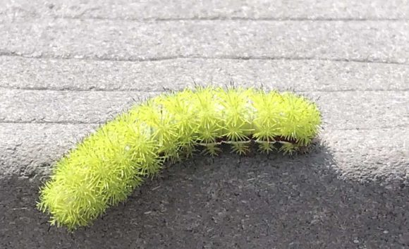 Io moth caterpillar at Everglades National Park. (Photo: Bonnie Gross)